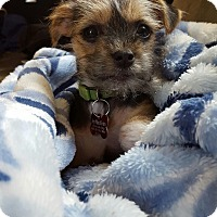 Adopt A Pet :: Sweet Pea - Dahlia Pup - Encino, CA