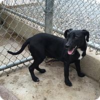Adopt A Pet :: Bob - Bedford, TX