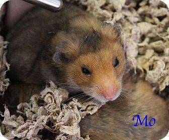 Hamster for adoption in Bradenton, Florida - Mo