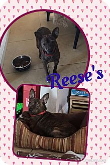 Chihuahua Mix Dog for adoption in Scottsdale, Arizona - Reeses