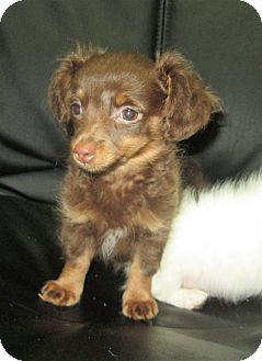 Chihuahua Puppy for adoption in Trenton, New Jersey - Cocoa