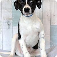 Labrador Retriever Mix Puppy for adoption in Waldorf, Maryland - Freedie