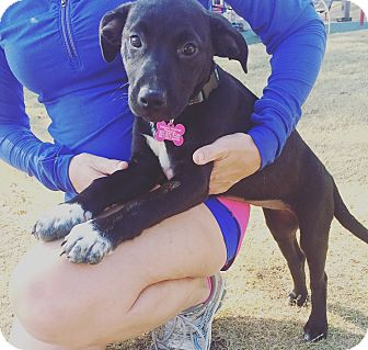 Labrador Retriever/American Pit Bull Terrier Mix Puppy for adoption in Eden Prairie, Minnesota - Sox