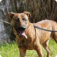 Adopt A Pet :: Roxy - Hialeah, FL