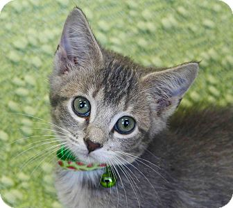 Domestic Mediumhair Kitten for adoption in Basehor, Kansas - Pius