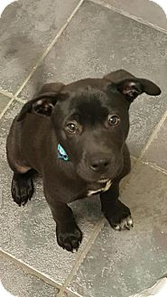 Labrador Retriever Mix Puppy for adoption in Fort Worth, Texas - Dexter