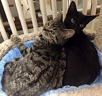 Domestic Shorthair Cat for adoption in Santa Fe, New Mexico - Hank