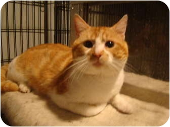 Domestic Shorthair Cat for adoption in Muncie, Indiana - Buster