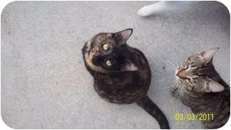 Domestic Shorthair Cat for adoption in Bonita Springs, Florida - Kendra