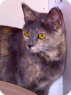 Russian Blue Cat for adoption in Escondido, California - Sly
