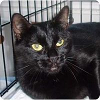 Domestic Shorthair Cat for adoption in Germansville, Pennsylvania - Darla