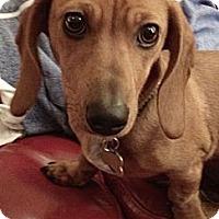 Adopt A Pet :: Cricket - San Jose, CA