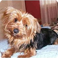 Adopt A Pet :: Amber - Mooy, AL