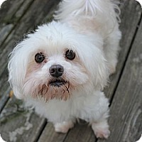 Adopt A Pet :: *Brady - PENDING - Westport, CT