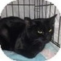 Adopt A Pet :: Bellatrix - Vancouver, BC