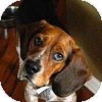 Adopt A Pet :: Benny - Novi, MI