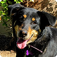 Adopt A Pet :: COOKIE - Phoenix, AZ