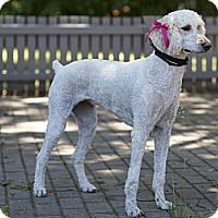 Adopt A Pet :: Bella - Rigaud, QC