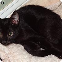 Adopt A Pet :: Rizzo - Bentonville, AR