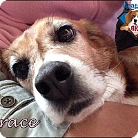 Adopt A Pet :: Grace - Yardley, PA