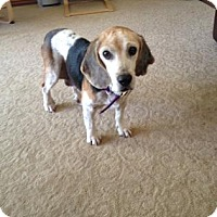 Adopt A Pet :: Melia - Phoenix, AZ