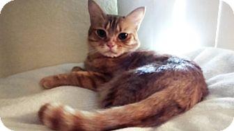 Domestic Shorthair Cat for adoption in Mesa, Arizona - Max (adult)