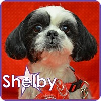 Adopt A Pet :: Shelby - Excelsior, MN