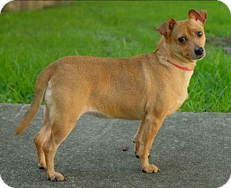 Pug/Chihuahua Mix Dog for adoption in Boston, Massachusetts - Miss Kitty