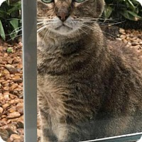 Adopt A Pet :: Markie - Front Paw Declawed - Houston, TX