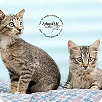 Adopt A Pet :: Tabby kittens - Apache Junction, AZ
