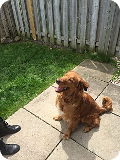 Retriever (Unknown Type) Mix Dog for adoption in Mississauga, Ontario - Nick