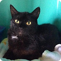 Adopt A Pet :: Midnight - Breinigsville, PA