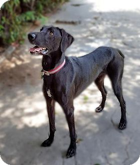 Weimaraner/Greyhound Mix Dog for adoption in Sun Valley, California - Willy