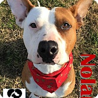 Adopt A Pet :: Nolan - Watauga, TX