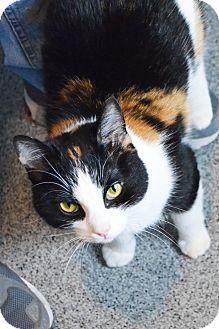 Domestic Shorthair Cat for adoption in Lincoln, Nebraska - Mandy