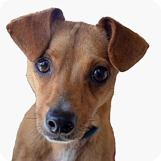 Manchester Terrier/Dachshund Mix Dog for adoption in Terre Haute, Indiana - Ranger