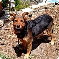 German Shepherd Dog Mix Dog for adoption in Lithia, Florida - ANDY-16 StPete