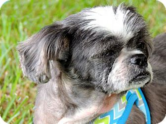 Shih Tzu Dog for adoption in Andover, Connecticut - JOEY