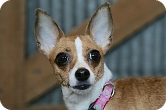Chihuahua Mix Dog for adoption in St. Charles, Missouri - Gertie