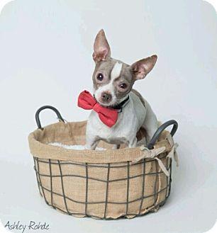 Chihuahua Dog for adoption in Kenner, Louisiana - John