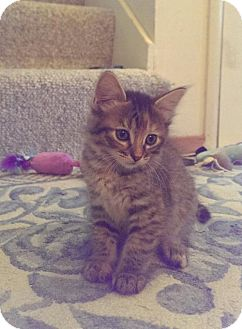 Domestic Shorthair Kitten for adoption in Campbell, California - Eire