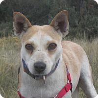 Adopt A Pet :: Candy - Ridgway, CO