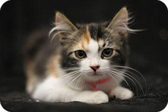 Calico Kitten for adoption in Monrovia, California - Ginger