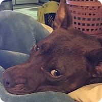 American Staffordshire Terrier Mix Dog for adoption in Arlington, Massachusetts - Lola