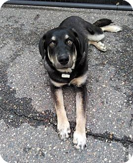 Shepherd (Unknown Type) Mix Puppy for adoption in Sauk Rapids, Minnesota - Beth