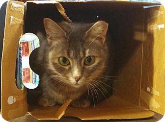 Domestic Mediumhair Cat for adoption in Asheville, North Carolina - Splash