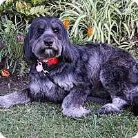 Adopt A Pet :: SHAY - Adoption Pending - Newport Beach, CA