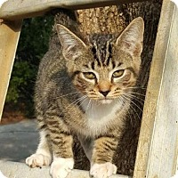 Adopt A Pet :: Rico  Male Kitten - knoxville, TN