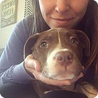 Adopt A Pet :: Opie - Charlotte, NC