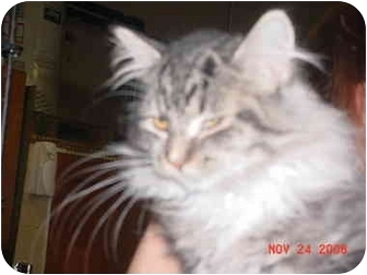 Domestic Longhair Kitten for adoption in Pendleton, Oregon - Mystery